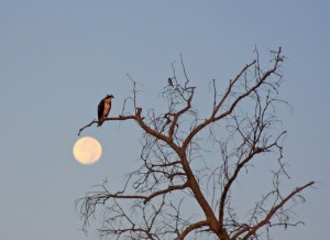 Osprey and Full Moon
