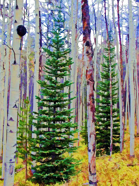 Spruce and Aspen Trees
