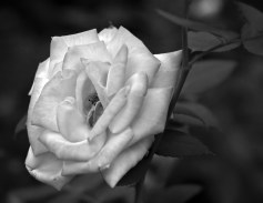 Rose - black and white  - photo by Bob Fergeson